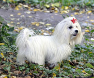 White Maltese dog. White Maltese  dog with a red bow in the park Stock Photos