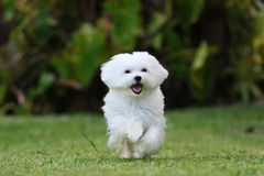 White Maltese Dog Running. A white maltese dog running on the lawn Stock Photo