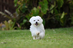 White Maltese Dog Running. A white maltese dog running on the lawn Royalty Free Stock Image