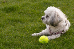White Maltese dog / Shih tzu with pink collar playing fetch (looking away from camera) Royalty Free Stock Photography