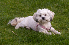 White Maltese dog / Shih tzu with pink collar playing fetch Royalty Free Stock Images
