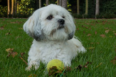 White Maltese dog / Shih tzu with tennis ball. Photo of a white Maltese dog / Shih tzu after playing fetch with a tennis ball Royalty Free Stock Image