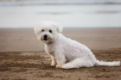 White Maltese dog sitting on the beach. White cute Maltese dog sitting on the beach Stock Images