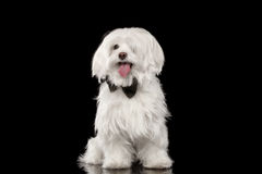 White Maltese Dog Sitting and Happy Looking in Camera isolated. On Black background Stock Photo