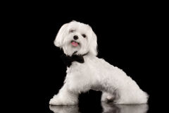White Maltese Dog Sitting and Happy Looking in Camera isolated. On Black background, Profile view Royalty Free Stock Photos