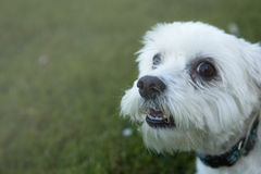 White Maltese Dog Sitting and Happy Looking Royalty Free Stock Photo