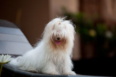 White maltese dog sitting at home garden Stock Photography