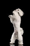 White Maltese Dog Standing on Legs, Raising up Paws isolated. White Maltese Dog Standing on Legs and Raising up Paws isolated on Black background, Front view Stock Images