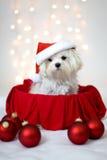 White Maltese Dog wearing Santa hat. Sitting in box Royalty Free Stock Images