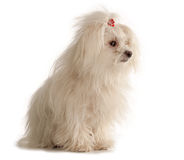 White Maltese dog on white background. White Maltese dog isolated on white background Royalty Free Stock Photo