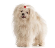 White Maltese dog on white background. White Maltese dog isolated on white background Stock Images