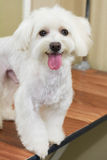 White maltese macro. Dog with tongue sticking out Stock Photos