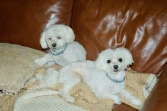White Maltese Puppies. Cute white Maltese puppies relaxing together on brown leather couch Stock Images
