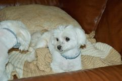 White Maltese Puppies Relaxing. On brown leather couch royalty free stock image