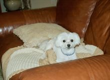 White Maltese Puppy. Cute white Maltese puppy resting on brown leather couch stock photo