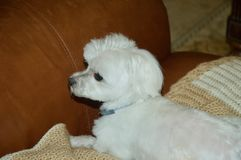 White Maltese Puppy. Relaxing on brown leather couch stock photography
