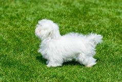 White maltese standing on green field. Stock Images