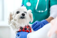 White maltese and two people. During vet examination royalty free stock image