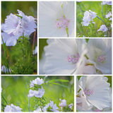 White Malva. June collage with White Malva Royalty Free Stock Images