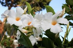 White Mandevilla Flowers Stock Image