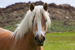 White mane on wild mustang horse Royalty Free Stock Photo