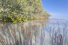 White mangrove trees in a tropical lagoon Royalty Free Stock Image