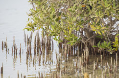 White mangrove trees in a tropical lagoon Stock Photography