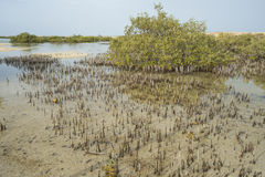 White mangrove trees in a tropical lagoon Royalty Free Stock Photos