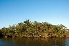 White mangroves Stock Photography