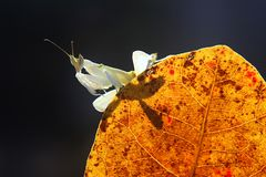 White mantis royalty free stock images
