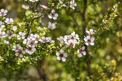White manuka tree flowers in bloom with blurred background and copy space royalty free stock image