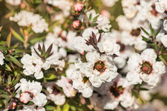 White manuka tree flowers in bloom royalty free stock images