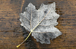White maple leaf Royalty Free Stock Photo