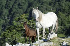 White mare and brown colt Royalty Free Stock Images