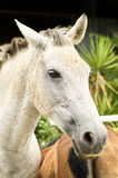 White mare. With a fixed eye in an open green meadow Stock Image