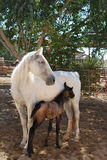 White mare with foal. White Lucitano mare with 4 day old foal stock image