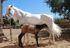 White mare with foal. White Lucitano mare with 4 day old foal royalty free stock photography