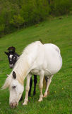 White mare with foal Stock Photos