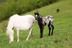 White mare with foal Stock Images