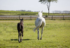 White mare with foal Stock Photo