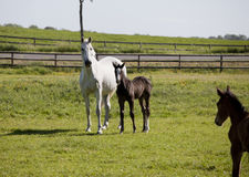 White mare with foal Royalty Free Stock Photography