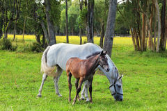 The white mare and her foal Stock Photos
