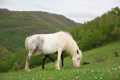 White mare with her foal Stock Photos