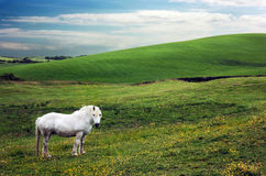 White Mare In Pasture - Scotland. A white mare in her pasture on farmland in southwest Scotland Stock Photos