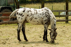White mare speckled brown Royalty Free Stock Image