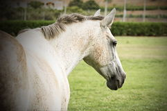 White mare walking away. In an open green meadow Stock Photo