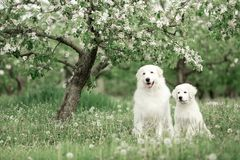 White Maremma and puppy Maremma sit under a flowering tree surrounded by white meadow flowers stock photo