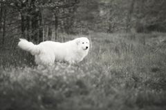 White Maremma walks through the woods. Black and white photography stock photos