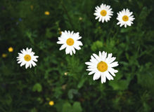 White margaretes on the meadow Royalty Free Stock Image