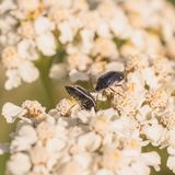 White-Margined Burrower Bugs Macro Royalty Free Stock Image